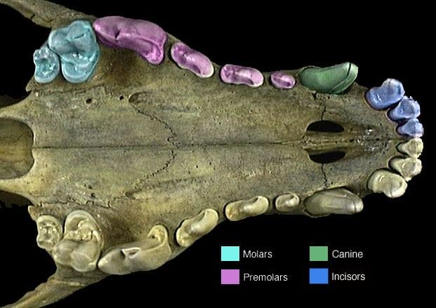 tiger skull diagram human teeth vs animal teeth #11